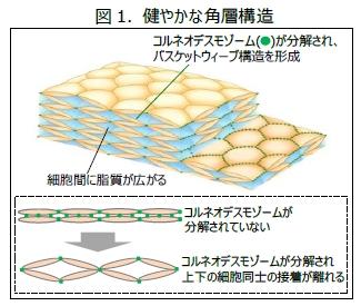 角層のバスケットウィーブ構造は肌のバリア機能に必要